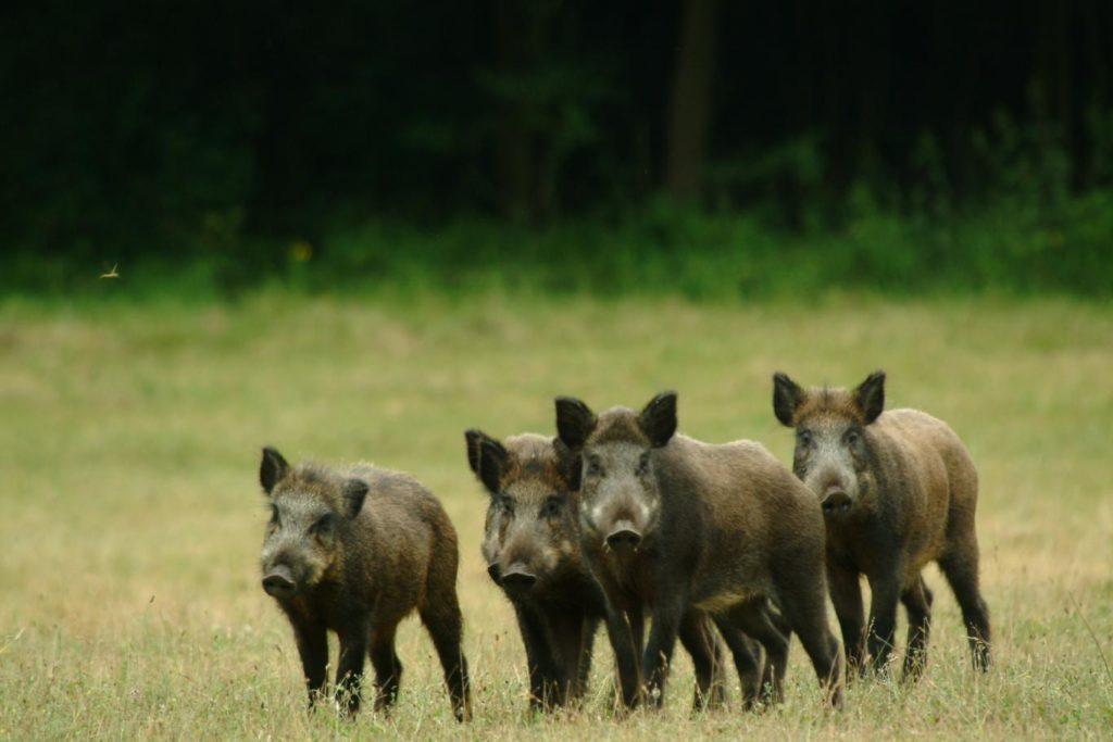 Wild boar hunting season