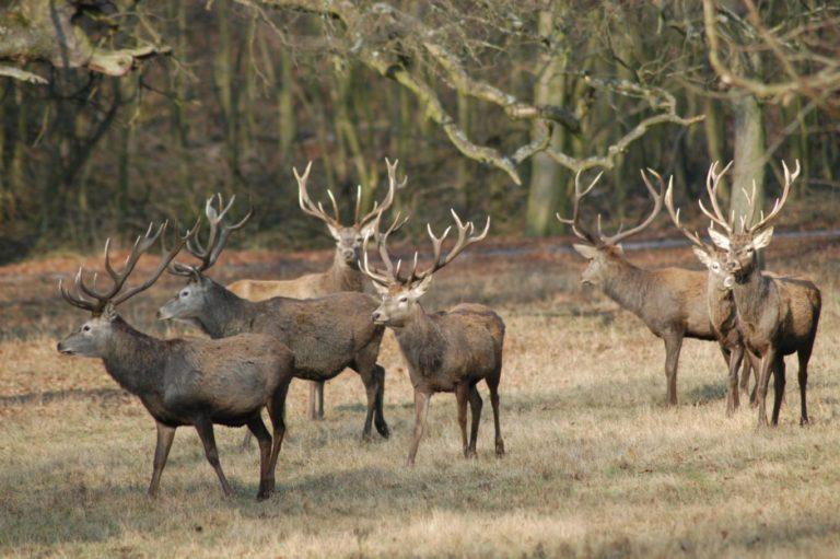 Red deer hunting season