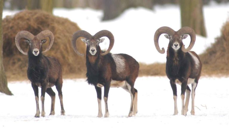 mouflon hunting season