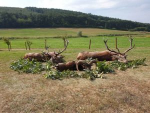 red stag mouflon ram and roebuck hunting in hungary